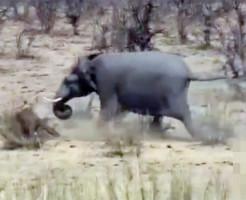 【ガチ映像】象が本気だしたら牛を瞬殺した・・・ 動画あり