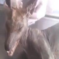 【UMA】コマ?ウクライナで捕まえられた未確認生物がチュパカブラらしい ※動画