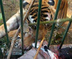 【グロ動画】トラがおいしそうにむしゃむしゃ食べてるもの→人間の腕・・・